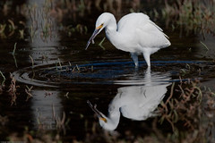 1 of 4 Snowy Egret (Egretta thula) with crab's pincher in its beak as finds Pickleweed (Sarcocornia pacifica) food to eat (mikebaird) Tags: bird water bay feeding snowy estuary morrobay reflexions pacifica egret morro snowyegret birdwatcher egrettathula egretta pickleweed thula sarcocorniapacifica sarcocornia taxonomy:binomial=egrettathula pacificswampfire 06oct2009 pacificglasswort