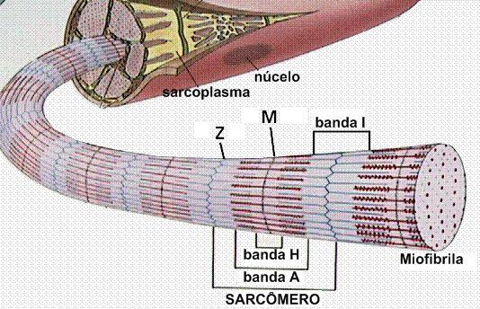 Esquema de miofibrila