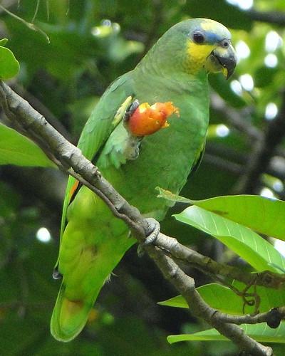 Amazona amazonica 4020419190_6ff621a122