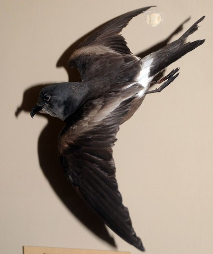 guadelupe petrel