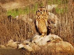 Coruja-do-nabal (anacm.silva) Tags: bird portugal ave coruja owls figueiradafoz asioflammeus corujadonabal salinasdafigueiradafoz