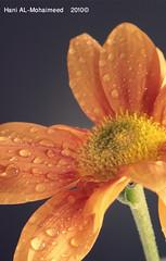 (hani-almohaimeed , ) Tags: flower canon sigma 105 hani  sigma105  d400   almohaimeed