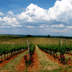 days of wine and roses (overthemoon) Tags: blue roses france green clouds square vanishingpoint wine vineyards rows vin vignoble cahors redearth gettyimages malbec lejeune midipyrénées pointdefuite floressas vindecahors châteauchambert vinnoir 1j1t