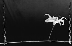 Suprema Lux 22 (Gianfranco Sigismondi) Tags: flowers bw stilllife white black darkroom dark gothic bn fiori negativo nero biancoenero buio dunkelkammer positivo scuro naturamorta contrasto chimica sviluppo 25iso ingrandimento mamiyarz67 cameraoscura medioformato ingranditore mascheratura baritata fissaggio metodozonale bagnodarresto