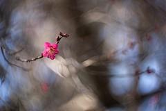 _DSC2912a (kymarto) Tags: bokehlicious depthoffield dof plumblossoms ume seasons spring seasonal pink sony sonynex7 oldlens vintagelens cinelens flowers flowerphotography nature naturephotography