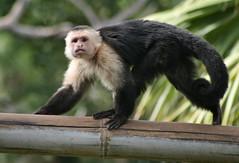 Zoo Monkey (LarryJay99 ) Tags: bw green face animal nose monkey bokeh tail bamboo palmbeachzoo dreherpark zoomonkeytail ilobsterit