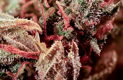 hash plant MaCrO (e.z.e.fonine) Tags: macro weed pot marjiuana
