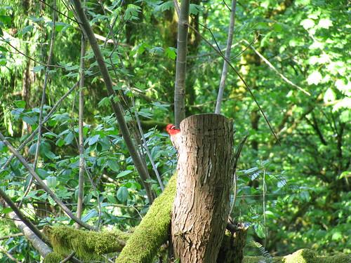 Peek A Boo Red