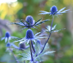 Chelsea Flower Show [6] (_nejire_) Tags: blue england plant flower green london nature canon eos flora kiss chelsea bokeh explore f28 carlzeiss chelseaflowershow 30faves 50faves 1230pm 10faves 40faves 25faves nejire 400d eos400d canoneos400d kissx fave10 fave30 fave50 mhashi fave25 fave40 carlzeissplanart1450ze  9136583g10pm