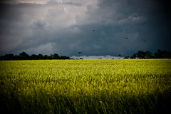 May 26, 2009 (HeatherBradleyPhotography) Tags: cloud storm black green field rain yellow night illinois scary farm wheat country stormy farmland madison land thunderstorm thunder stormnight platinumheartaward thechallengegame challengegamewinner regionwide