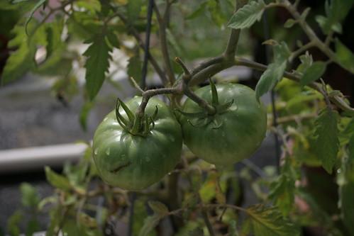 tomatoes_0717