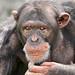 Confused chimp
