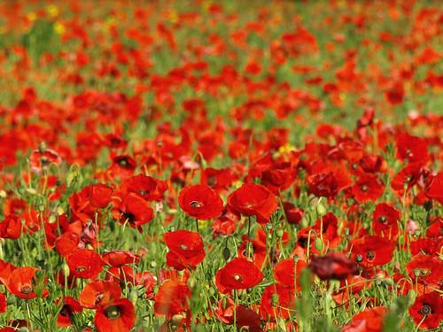 Poppy Fields by D-Kav.
