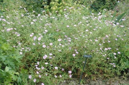 G. x oxonianum 'Suzie White' 01 (Dr. Evrard)