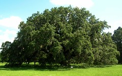 giant oak (octopus minor) Tags: county giant oak florida north leon tallahassee monticello panhandle wolfcreek roble tallahasse querqus
