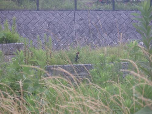 pheasant hiding