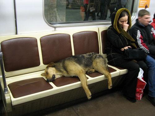 Cão dormindo metro