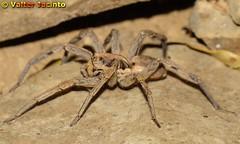 Aranha lobo radiada (Lycosidae Hogna radiata) 3671994501_8eca35f500_m