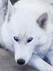husky siberiano (reivajanunez) Tags: blue white husky amor perro mascota fiel siberiano