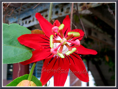 Passiflora miniata / Passiflora coccinea hort. (Red granadilla, Scarlet/Red Passion Flower)