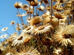 Sun dried (eLdudorino) Tags: flowers blue sky sun flower macro yellow golden flickr dry olympus crete chania   canea platinumheartaward olympusu820