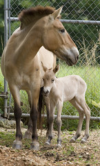 Baby Boom of Endangered Species (Smithsonian's National Zoo) Tags: nationalzoo brandi crc foal babyanimal babyboom przewalskishorse phorse conservationandresearchcenter