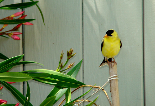 51 American Goldfinch