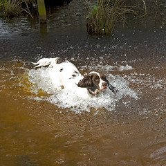 Max, Wreham Forest (Julia Livesey) Tags: max forest springer wareham