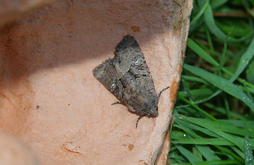 Common Rustic?