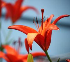 Single orange lily