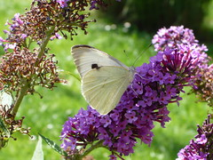 Large White Grosser Kohlweissling (Aah-Yeah) Tags: white butterfly bayern large grosser schmetterling pieris achental kohlweissling chiemgau tagfalter brassicae marquartstein piesenhausen