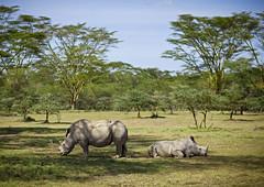 White rhinoceros - Kenya (Eric Lafforgue) Tags: africa park wild animal kenya culture tribal safari rhino tribes afrika tradition tribe ethnic kenia rhinoceros tribo afrique ethnology tribu eastafrica whiterhinoceros qunia 8313 lafforgue ethnie  qunia    kea    a