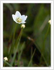 Blanca (Paco CT) Tags: flower macro flor 2009 pyrenees vegetal pirineos pirineo valdaran ltytr1 pacoct