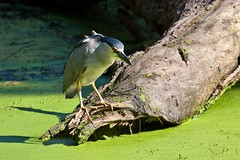 I thought this pond was stocked with frogs... (Prince Bart) Tags: california goldengatepark nature birds canon eos order parks dslr herons lilypond egrets birdsofnortherncalifornia ciconiiformesherons