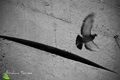 Fly Away (Barhoomo) Tags: old white black bird classic fly syria damascus