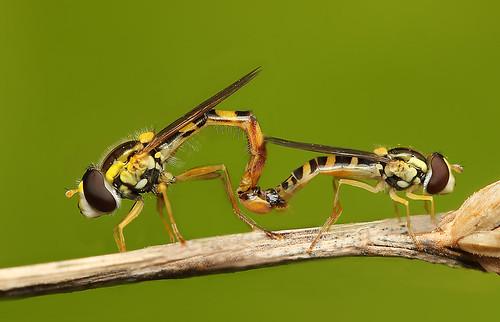 フリー画像| 節足動物| 昆虫| 虻/アブ| フデヒメヒラタアブ| 恋人/カップル|      フリー素材|