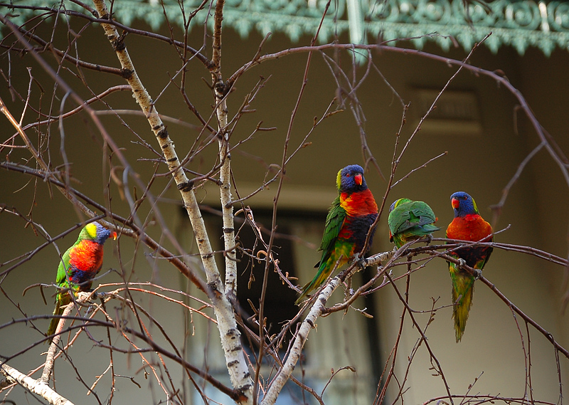 _rainbow_lorikeets_&_birch_3_