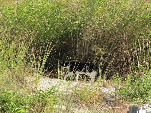 Feral cat on the dunes
