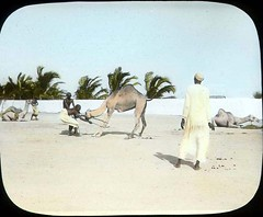 Camel breaking (The Field Museum Library) Tags: africa expedition camel mammals somalia zoology 1896 animaltraining carlakeley specimencollection dgelliot