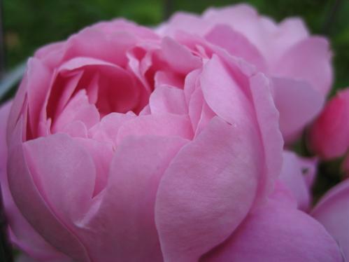 roseiseptember