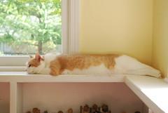 Otis (rootcrop54) Tags: cat chat otis sunny gato pastels 猫 macska gatto kot sunroom kočka kedi chatte katt gingercat kissa köttur mačka kucing кошка 고양이 cutetoes katė γάτα maček kaķis cc200 gorbe kittyschoice pisică