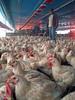 Tititititiiiiiii......... (Shigow) Tags: brazil chicken brasil canon mine powershot catch granja pega coleta frango shigueru ituverava sd870is shigow farmvictor