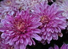 PURPLE MUMS (JAMART Art Photography) Tags: blue autumn red sky brown plant flower tree green art fall leave texture crimson yellow turn forest season carpet gold golden leaf maple woods october branch image september petal falling foliage pot negative mum bark fallen reverse canopy tapestry