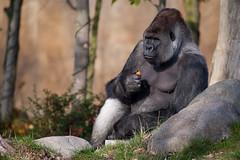 2009-10-31-11h59m17.272P8737l (A.J. Haverkamp) Tags: zoo rotterdam blijdorp gorilla dierentuin diergaardeblijdorp westelijkelaaglandgorilla bokito httpwwwdiergaardeblijdorpnl canonef100400mmf4556lisusmlens dob14031996 pobberlingermany