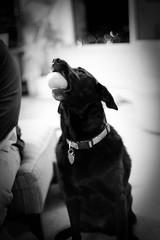 Lookit (Bordadorhund) Tags: portrait bw dog carmen sharkegg squeaksqueak thelittledoglaughed bordadorhund halfthefunofanewtoyisshowingitoff