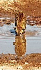 I Left It Here Some Place (Picture Taker 2) Tags: africa wild reflection nature water beautiful animal animals closeup outdoors funny colorful pretty native wildlife curious unusual wilderness plains predator upclose mammals wildanimals hayena spottedhyaena africaanimals naturewatcher