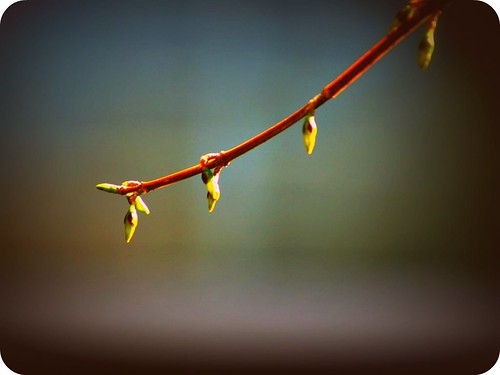Forsythia Branch