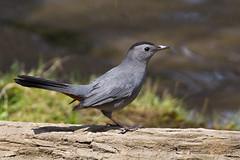 _53F3579 Gray Catbird (~ Michaela Sagatova ~) Tags: bird nature dundas graycatbird dumetellacarolinensis birdphotography dvca michaelasagatova