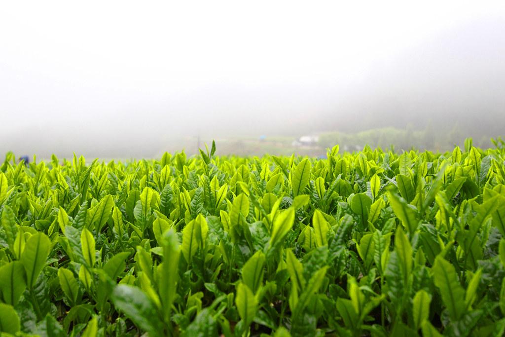 Inokura tea garden (4)