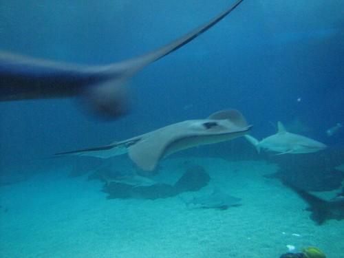 sharks and manta rays, oh my